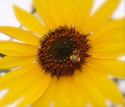 Art Print featuring the photograph Vibrant Bright Yellow Sunflower With Honey Bee  by Jerry Cowart
