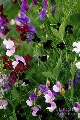 Photograph - Bright Sweet Peas by Donna L Munro