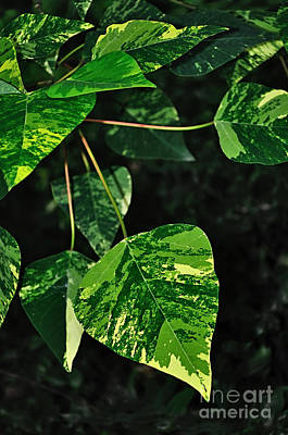 Photograph - Bright Variegated Leaves by Kaye Menner