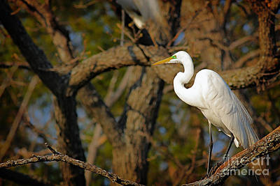 Photograph - Bright White Heron by David Cutts