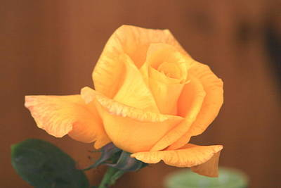 Photograph - Bright Yellow Rose by Phoenix De Vries