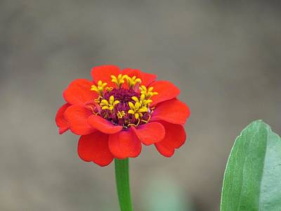 Photograph - Bright Zinnia by MTBobbins Photography