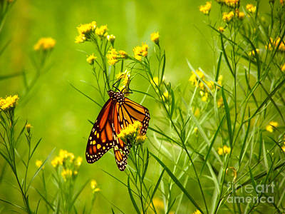 Photograph - Brightly Colored Monarch Butterfly In A Meadow Of Yellow Flowers by Jerry Cowart