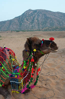 Dromedary Photograph - Brightly Decorated Camel, Pushkar by Inger Hogstrom
