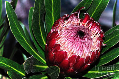 Bright'n'happy Protea Art Print by Kaye Menner