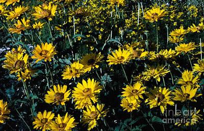 Brillant Flowers Full Of Sunshine. Art Print by James Rabiolo