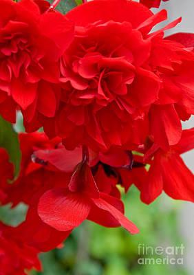 Photograph - Brillant Red Hanging Begonia Flower by Valerie Garner