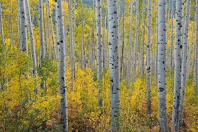 Art Print featuring the photograph Brilliant Colors Of The Autumn Aspen Forest by Cascade Colors