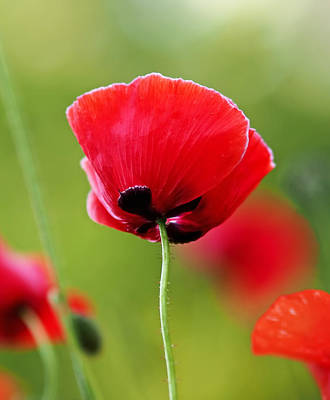 Botanic Photograph - Brilliant Red Poppy Flower by Rona Black