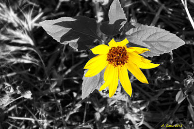 Photograph - Brilliant Sunflower by C Sitton