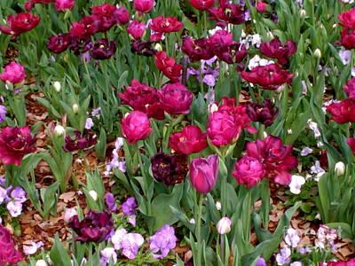 Photograph - Brilliant Tulips  by Sherri Williams