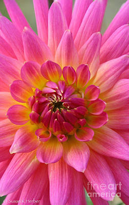 Photograph - Brilliantly Dahlia by Susan Herber