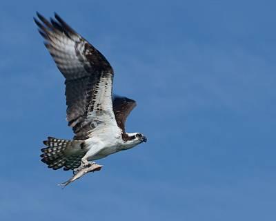 Treasure Coast Photograph - Bringing Home The Bacon - Osprey In Flight by Nikolyn McDonald