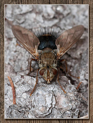 Photograph - Bristle Fly by WB Johnston