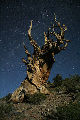Photograph - Bristlecone By Moonlight by Karen Lindquist