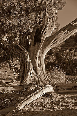 Photograph - Bristlecone Pine by Paul Miller