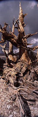 Tree Roots Photograph - Bristlecone Pine Tree Pinus Longaeva by Panoramic Images