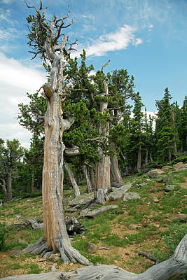 Bristlecone Photograph - Bristlecone Pines (pinus Aristata) by Jim West