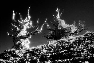 Photograph - Bristlecone Twins In Infrared by Paul W Faust -  Impressions of Light