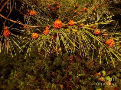 Photograph - Bristly Tree With Orange Cones by Miriam Danar