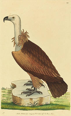 Vulture Drawing - British 18th Century, The Alpine Vulture by Quint Lox