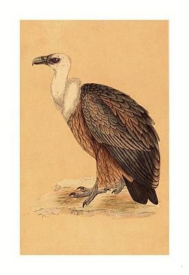 Griffon Drawing - British 19th Century, Griffon Vulture by English School