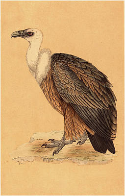 Griffon Drawing - British 19th Century, Griffon Vulture by Litz Collection