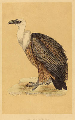 Griffon Drawing - British 19th Century, Griffon Vulture by Quint Lox