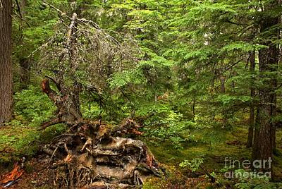 Photograph - British Columbia Rain Forest Stump by Adam Jewell