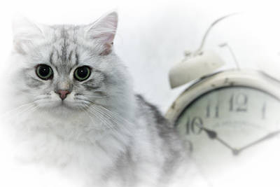 Kitten Digital Art - British Longhair Cat Time Goes By by Melanie Viola
