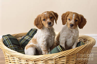 In Baskets Photograph - Brittany Dog Puppies In Basket by John Daniels