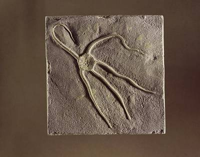 Brittle Star Fossil Art Print by Science Photo Library
