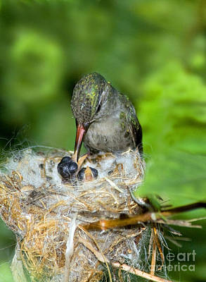 Broad-billed Hummingbird Photograph - Broad-billed Hummingbird And Young by Anthony Mercieca