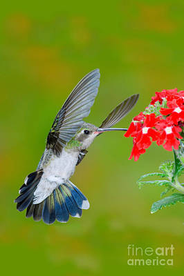 Photograph - Broad-billed Hummingbird by Anthony Mercieca