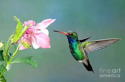 Nectaring Bird Photograph - Broad-billed Hummingbird At Flower by Anthony Mercieca