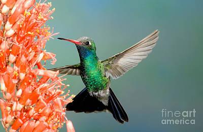 Nectaring Bird Photograph - Broad-billed Hummingbird At Ocotillo by Anthony Mercieca