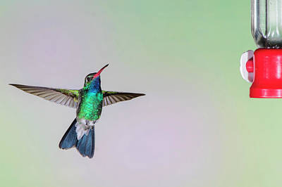 Broad Tail Photograph - Broad-billed Hummingbird (cynanthus by Larry Ditto