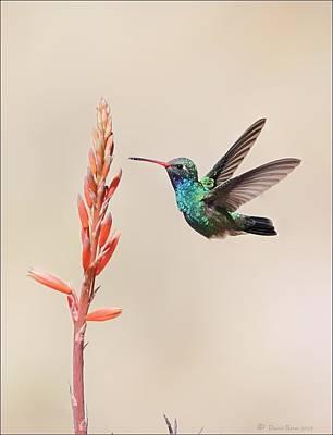 Photograph - Broad Billed Hummingbird by Daniel Behm
