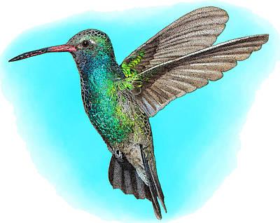 Broad Billed Hummingbirds Photograph - Broad-billed Hummingbird, Illustration by Roger Hall