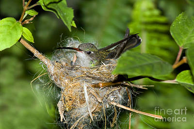 Broad-billed Hummingbirds Photograph - Broad-billed Hummingbird In Nest by Anthony Mercieca
