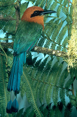 Broadbill Photograph - Broad-billed Motmot by John S. Dunning