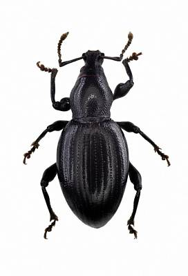 Cut Out Photograph - Broad-nosed Weevil by F. Martinez Clavel