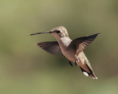 Photograph - Broad-tailed Hummingbird 1 by Lee Kirchhevel