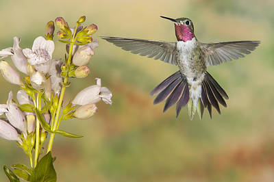 Broad Tailed Hummingbird 2 Art Print