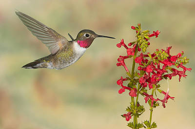 Broad-tailed Hummingbird 5 Art Print