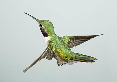 Iridescent Photograph - Broad-tailed Hummingbird by Gregory Scott
