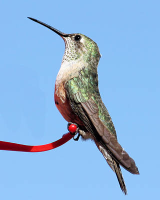 Photograph - Broad-tailed Hummingbird by Wade Waldrup