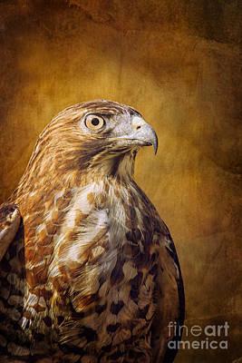 Broad Wing Hawk Art Print by Todd Bielby
