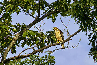 Photograph - Broad Winged Hawk by Christina Rollo