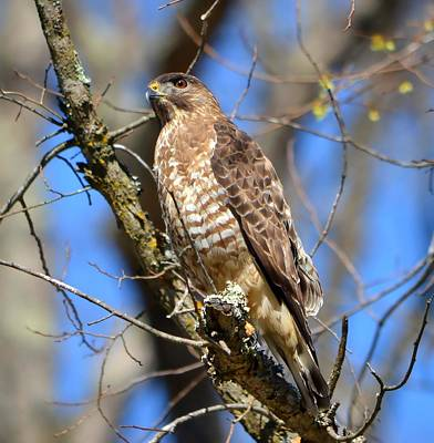 Photograph - Broad Winged Hawk by Deena Stoddard